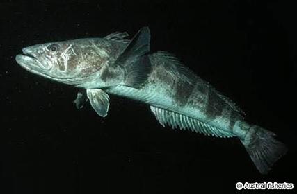 日本から消えつつある旨い魚