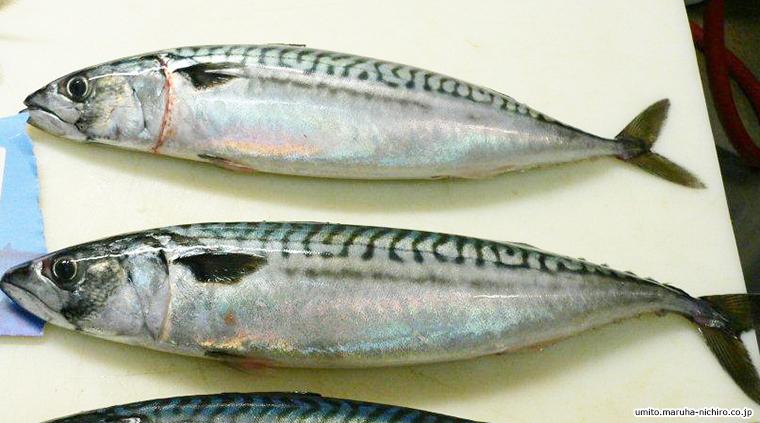 Atlantic mackerel,Scomber scombrus