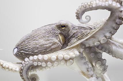 かつては悪魔の魚と呼ばれていたタコ 今では世界の人気食材に