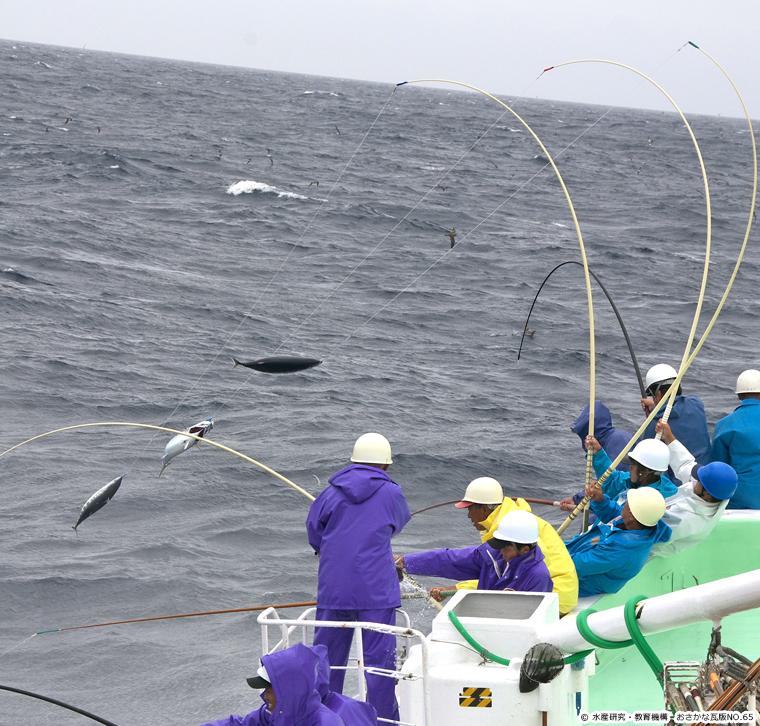 skipjack tuna,Katsuwonus pelamis