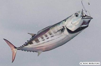 旬が2回ある魚、カツオ