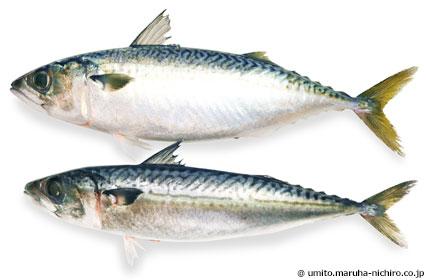 ボラ 出世魚